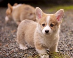 dog, pet, cute, corgi
